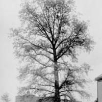 Photograph of Bur Oak on a City Lot in Columbus, Ohio
