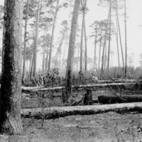 Photograph of Moss Lake Fire Area Burned and Blown Down Norway Pine