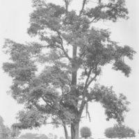 Photograph of Black Locust