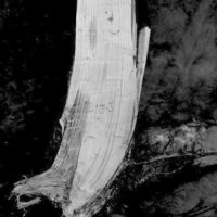 Photograph of Armillaria Root Rot of Young Jack Pine