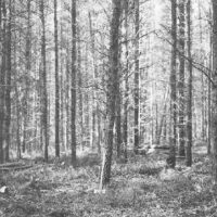 Photograph of Jack Pine Pole Stand After Treatment