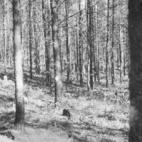 Photograph of Jack Pine Thinning Plot After Treatment