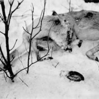 Photograph of Dead Buck Fawn