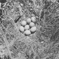 Photograph of Prairie Chicken Nest