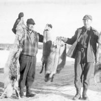 Photograph of Wolf, Coyote and Three Redfox Pelts at Winton