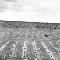 Photograph of Planted Jack Pine