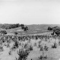 Photograph of a Jack Pine Plantation Planted in Fall 1934
