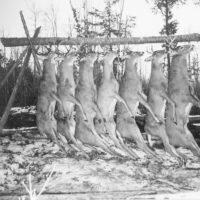 Photograph of Bucks Killed by Hunters