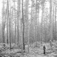 Photograph of 70 Year Old Jack Pine