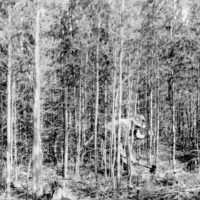 Photograph of Jack Pine Management Cycle