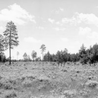 Photograph of Red Pine Management Cycle