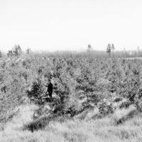 Photograph of Plantation of Scotch Pine