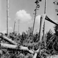 Photograph of Blow-Down in Virgin Red Pine Stand