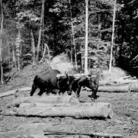 Photograph of a Yoke of Oxen Skidding an Oak Log onto the Deck of the Portable Sawmill on the William Arbaugh Logging Operation