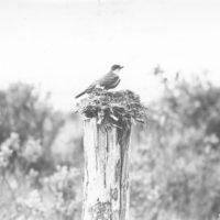 Photograph of Nesting Kingbird
