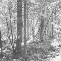 Photograph of Old Large Pole Stand of Balsam and White Spruce