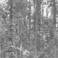 Photograph of Stand of Black Locust on the Merriman Tract