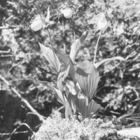 Photograph of Yellow Ladyslipper