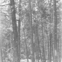 Photograph of Bole of Black Spruce Tree