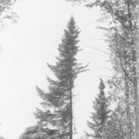 Photograph of Crown of Black Spruce Tree