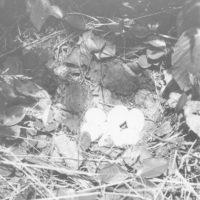 Photograph of Partridge Nest