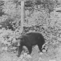 Photograph of Bear in His Natural Habitat