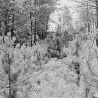 Photograph of High Release of Red Pine