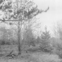 Photograph of Red Pine Planted in Scalps