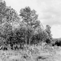 Photograph of Three Generations of Balm of Gilead Poplar