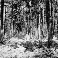 Photograph of Red Pine at Squaw Creek on Rapid River District