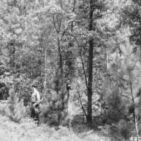 Photograph of Red Pine Under Oak and Aspen