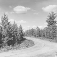 Photograph of Red Pine Plantation at Crossroads Intersection