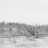 Photograph of Black Locust Beginning Second Growing Season on Ohio Electrical Power Company Land After Coal Was Mined by Stripping Method