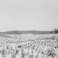 Photograph of Black Locust at End of One Growing Season