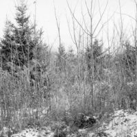Photograph of 17 Year Old White Spruce Plantation