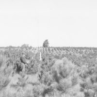Photograph of Plantation of Red Pine