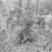 Photograph of Red Pine and White Spruce Planted Fall 1936
