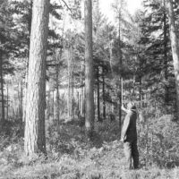 Photograph of District Ranger Harley Hamm Measuring Tree Height with a Scale Stick