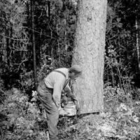Photograph of Felling Large Red Pine at the H. H. Richmond Timber Sale