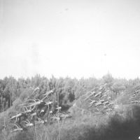 Photograph of Red Pine Christmas Trees