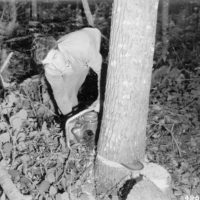 Photograph of Phelps Logger Al Hagenmiller Using a One-Man Power Saw