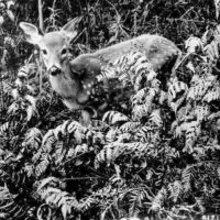 Photograph of Deer Fawn and Ferns
