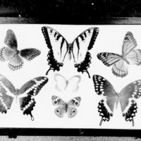Photograph of Mounted Butterflies in Case