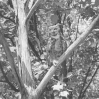 Photograph of Horned Owl