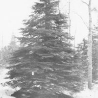 Photograph of White Spruce