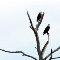 George Washington Memorial Parkway - Bald Eagles Roost