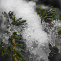 Rogue-Umpqua Scenic Byway - Snow-Covered Pine